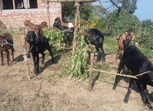 अनुदान पाएपछि किसान व्यावसायिक बाख्रापालनतर्फ उन्मुख