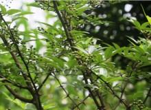 कास्कीमा टिमुरको व्यावसायिक खेतीमा आकर्षण